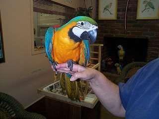 Perroquets ara avec cage a donner en adoption - Cliquez ici pour fermer