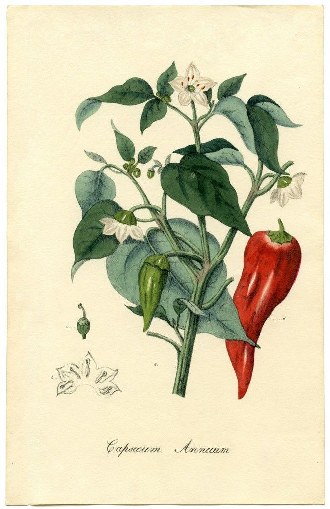 Chili Pepper Botanical Printable @Karen Jacot Jacot - The Graphics Fairy