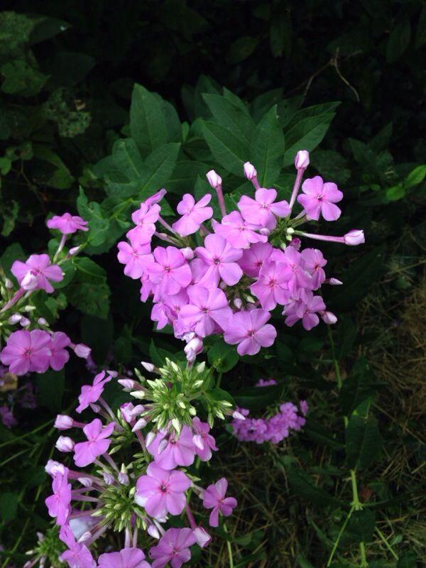 Free Plant Identification Perennials Bloom Powdery Mildew