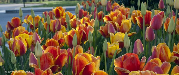 Tulip Red Yellow Cubed ™ | Tulip Bulbs for Sale | COLORBLENDS