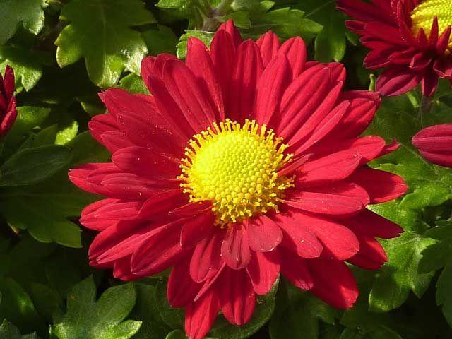Chrysanthemen kaufen oder selber vermehren?