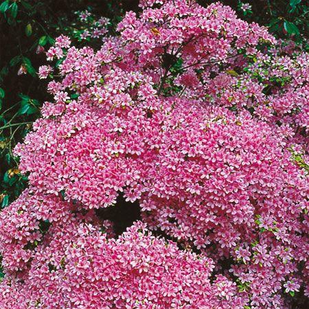 17 meilleures images propos de plantes de terre de for Azalee interieur entretien