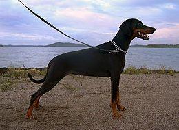 De dobermann is genoemd naar zijn 'uitvinder', de Duitse deurwaarder en hondenvanger Friedrich Louis Dobermann (1836-1894). Hij wilde een sterke werkhond fokken die allerlei taken aankon, maar in de eerste plaats wilde hij een hond die hem kon beschermen tegen woedende, nalatige belastingbetalers en hun grommende waakhonden.