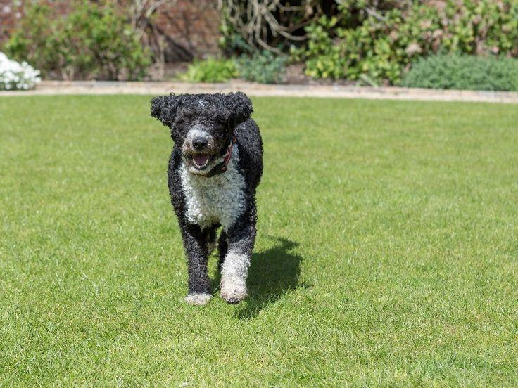 Spanischer Wasserhund: Lebhaftes und sportliches Tier