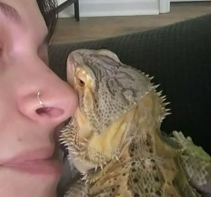Our German Giant Bearded Dragon, Baby. She's a total love bug!