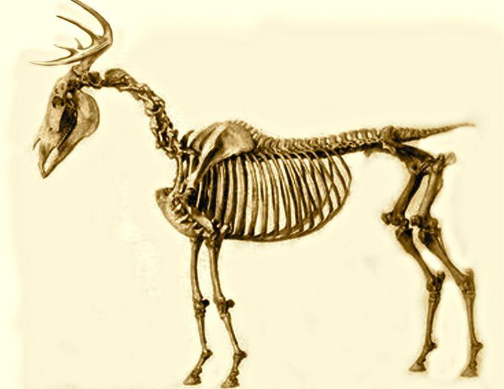 Deer Skeleton | H U N T I N G T O I L E | Pinterest | Deer ...