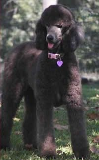 Standard Poodle Breeders | Poodle Breeders - Poodle Puppies for Sale
