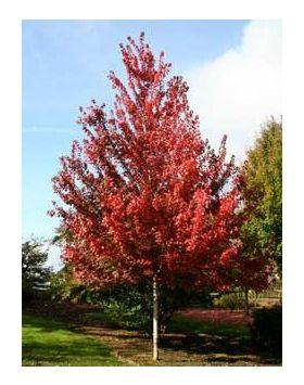 Acer rubrum 'Brandywine' - Lilásvörös őszi lombszínű vörös juhar