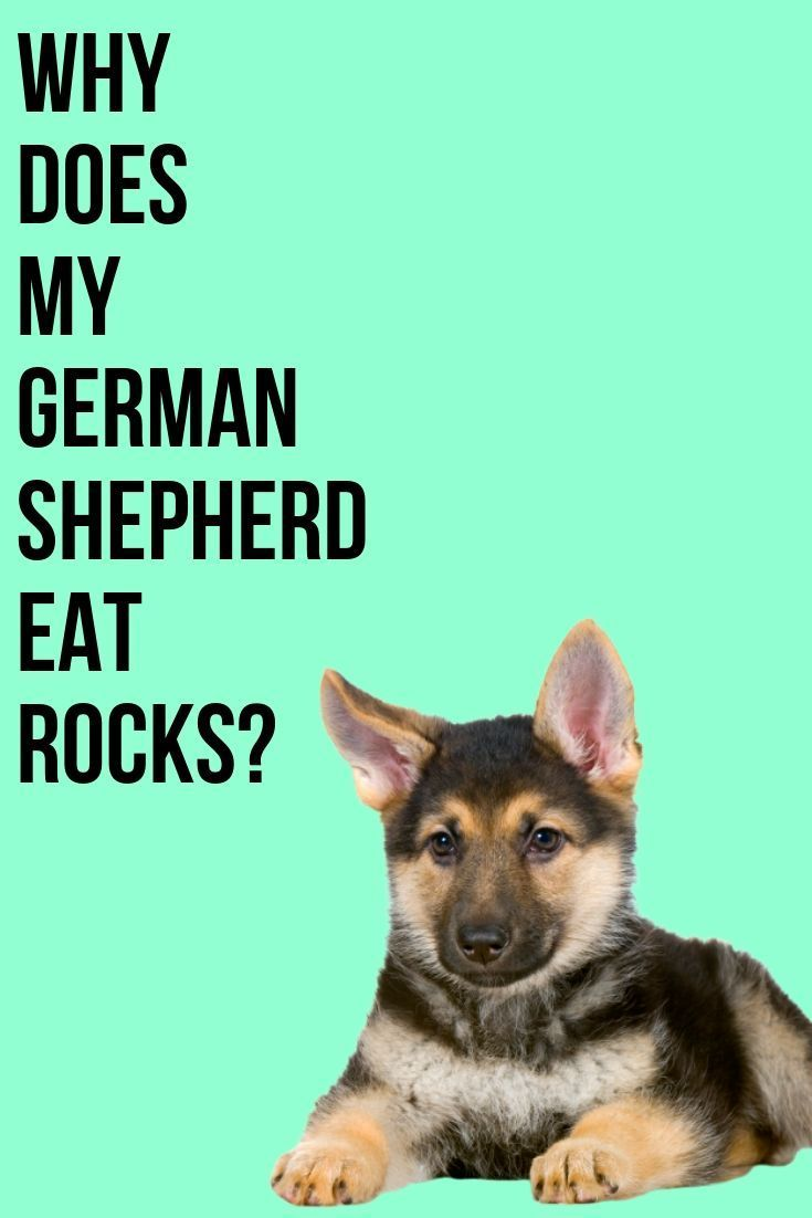 This Post Will Show You Why Your German Shepherd Eats Rocks And