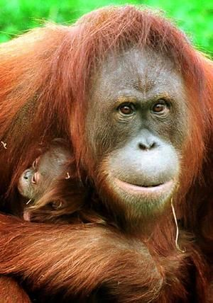 "Sumatran orangutans are designated as Critically Endangered by the IUCN, with a population of just a few thousand, while the Borneo orangutan is considered Threatened. The UN calls the current status of the remaining orangutans ""a conservation emergency."" Habitat destruction caused by the massive expansion of palm oil plantations is a primary reason orangutans are facing the threat of extinction.      http://ran.org/indonesia%E2%80%99s-rainforests-biodiversity-and-endangered-species"