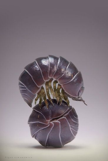 """Known as roly polies/doodlebugs, or I always called them armadillo bugs, are more commonly called pill bugs, or Armadillidiidae, if you want to get scientific. You can barely lift up a stone or pot without having a couple of these crawl out.  They can live two or three years with the right conditions, which is longer than some of you could keep little """"Chippy,"""" your hamster, alive (oops). They're cleaners at least. They ingest mold, feces, and other dead bugs."""