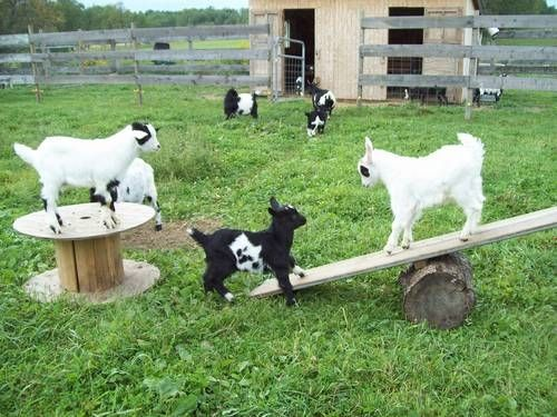 41 Best Images About Pygmy Goat Play Areas On Pinterest
