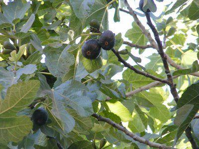 La Higuera, árbol lleno de recuerdos para todos los sentidos; árbol generoso que nos regala sus hojas, sus frutos...verdes o maduros los que transformamos en deleite puro...