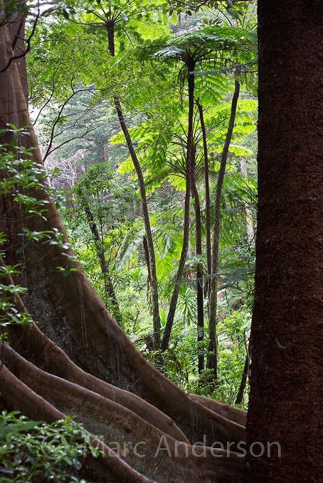 Tall Norfolk Tree Ferns and a strangler fig, Norfolk Island, Australia  by Marc Anderson