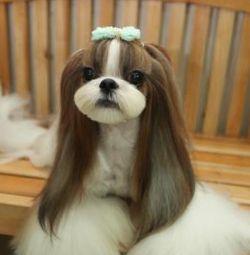 Shih Tzu groomed in Korean style