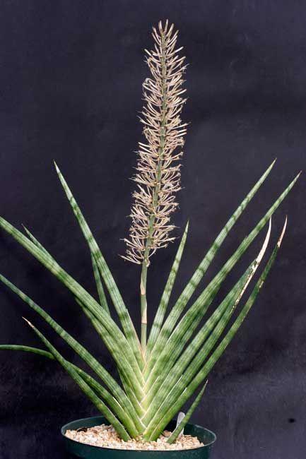 Sansevieria Phillipsiae Grow care for sansevieria plants https://www.houseplant411.com/houseplant/sansevieria-snake-plant-how-to-grow