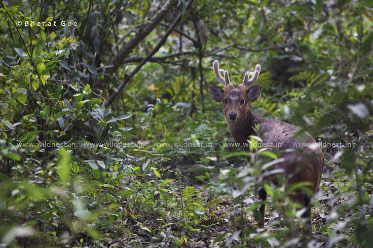 Hog Deer male