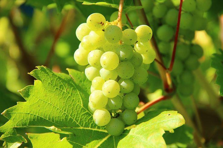 Hrozny, Víno, Ovoce, Vinice, Révy, Vinice Skladem