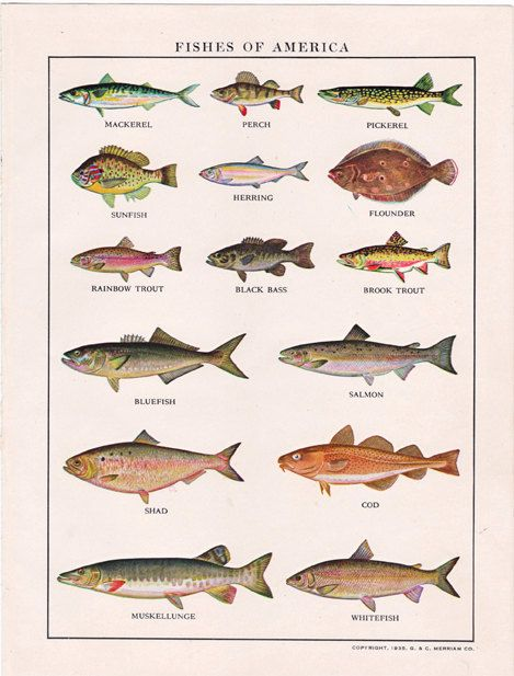 This vintage fish illustration measures 6.5 by 8.5 inches. It is a page that comes from the Webster's Elementary Dictionary, a Dictionary for Boys and Girls, the 1941 edition.