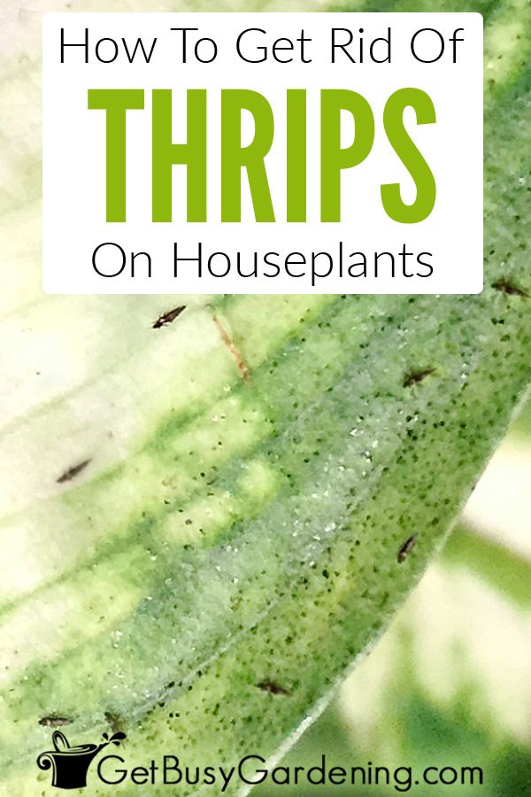 How To Identify Houseplant Pests And How To Get Rid Of Them Plant Pests How To Get Rid Pests
