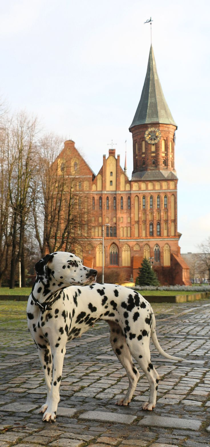 Dalmatian Lika.....out and about......