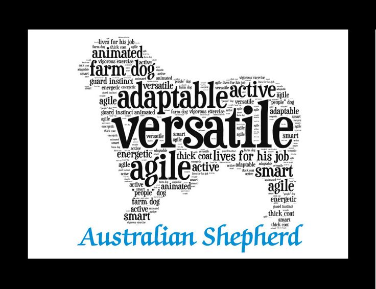 Traits of the Australian Shepherd Animated, adaptable and agile, the Australian Shepherd lives for his job, which still involves herding livestock and working as an all-purpose farm and ranch dog. He