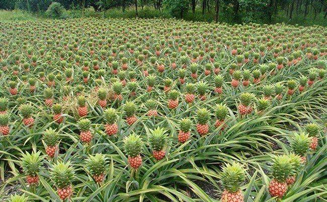 Как растут тропические фрукты (и не только) - Наука и жизнь