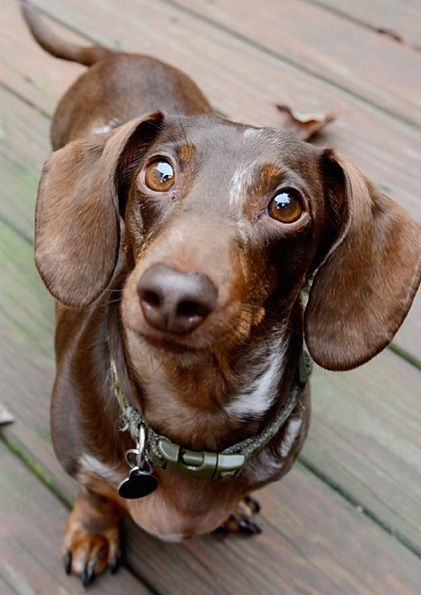 Chocolate dachshund what a sweetie
