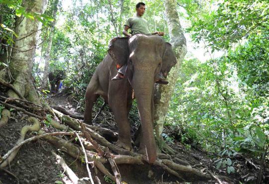 Let's be smart: Selain menampung gajah, kawasan Hutan Sare juga  memiliki fungsi sebagai salah satu pusat konservasi gajah Sumatera ,Satwa Indonesia,Satwa Indonesia