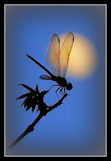 Dragonfly And The Moon by Waldek & Lidka