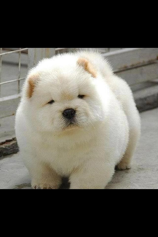 chow chow too cute pinterest animal dog and pup