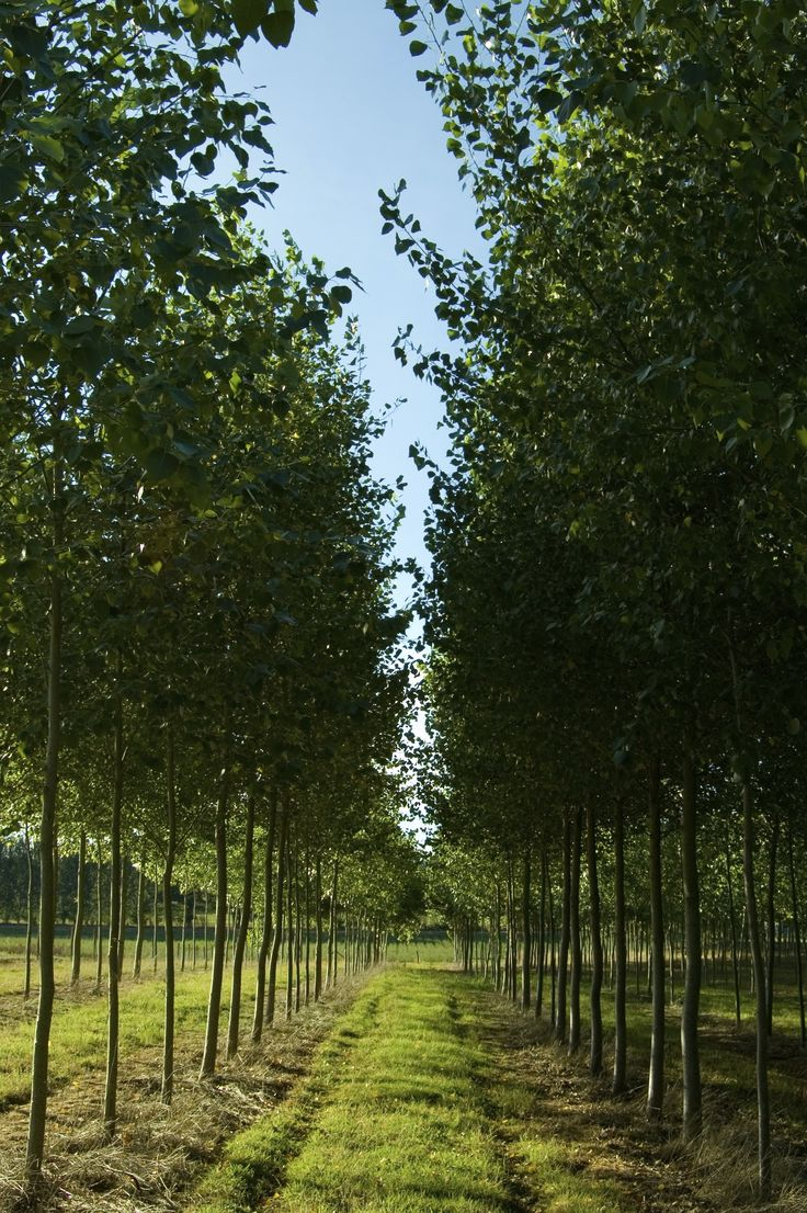 poplar tree pictures young poplar trees in the upper