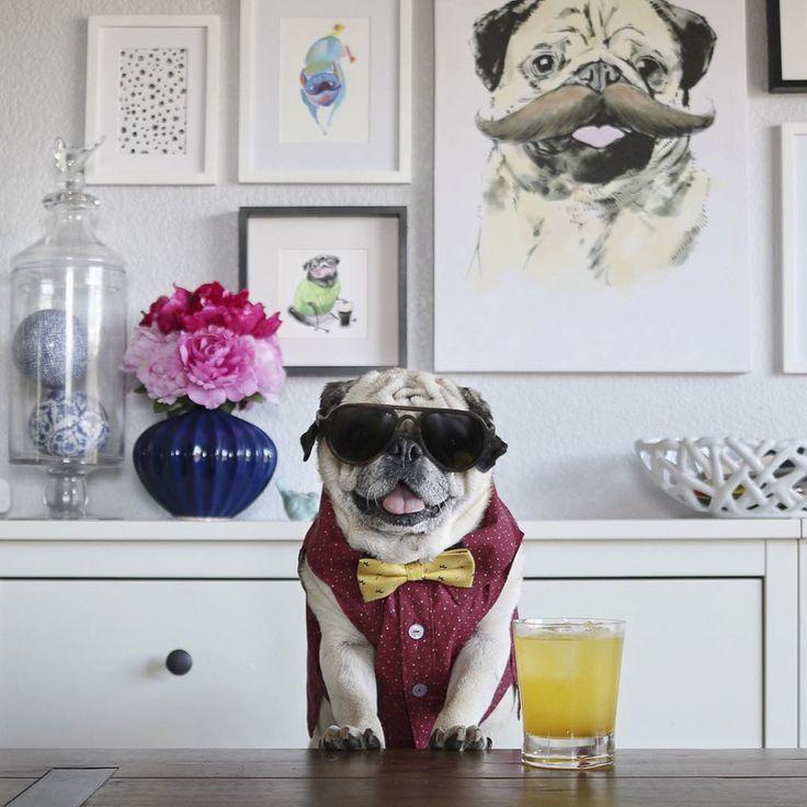 Social Pug Profile | Rocco http://www.thepugdiary.com/social-pug-profile-rocco-pugtender/