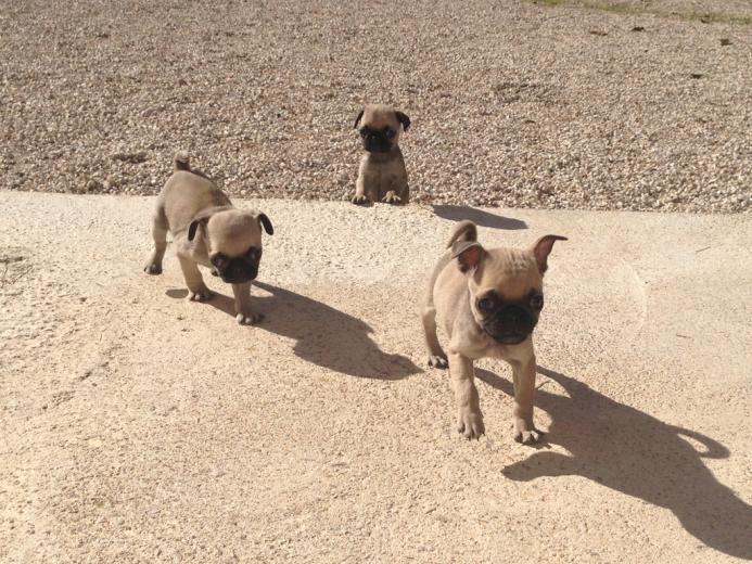 Cachorros De Carllino-Pug - Perros pequeños en Alicante, Cocentaina.