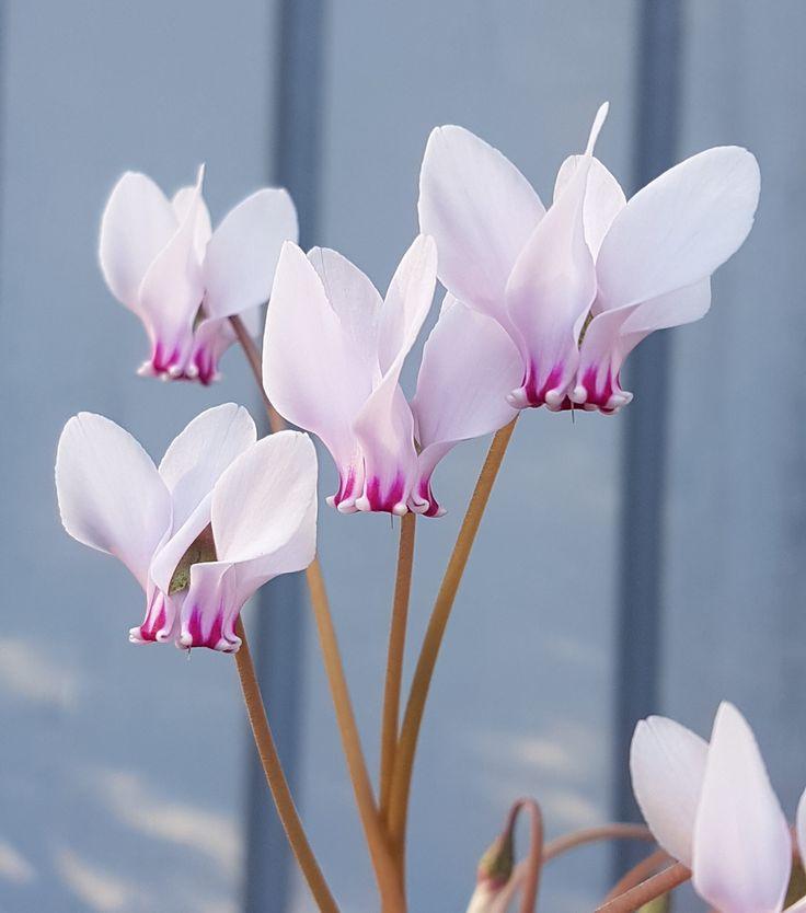 Cyclamen eller alpefiol; her er en variant mange ikke kjenner til.