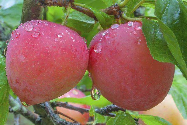 How to grow a plum tree from a fresh seed