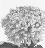 Chrysanthemum 'Skater's Waltz'