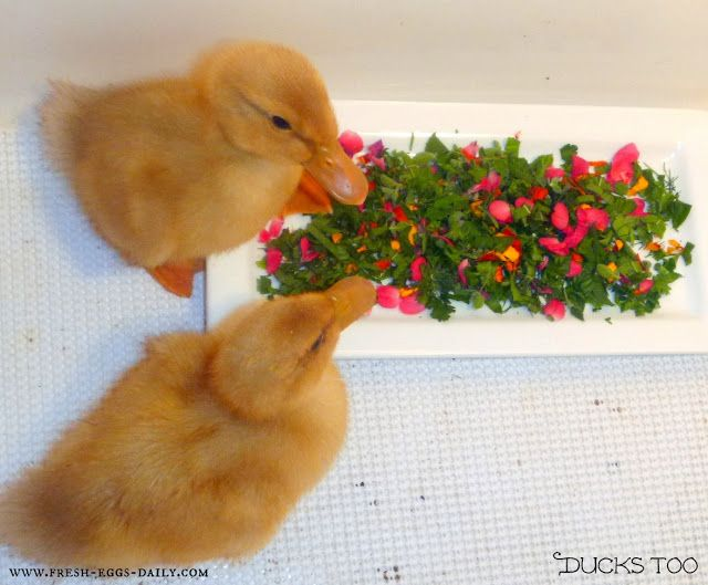Fresh Eggs Daily®: Basic Duckling Care - Raising Healthy Happy Ducks