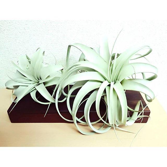interior_plants* *  お気に入りのカッティングボードにキセロの親子。 我が家で一番大きいことちいさいこ。 最高の癒し。  おはようございます。 今日は暖かくなるみたいですね。 はやく春になってほしいな。  2016.3.16 * #キセロ #キセログラフィカ #カッティングボード #エアープランツ #エアプランツ #チランジア #ティランジア #tillandsia  #airplants #plants #plant #green #観葉植物 #植物 #インテリア #interior #熱帯雨林 #癒し #マイナスイオン#瓶 #グラス #セリア #ディスプレイ #あたしの宝物