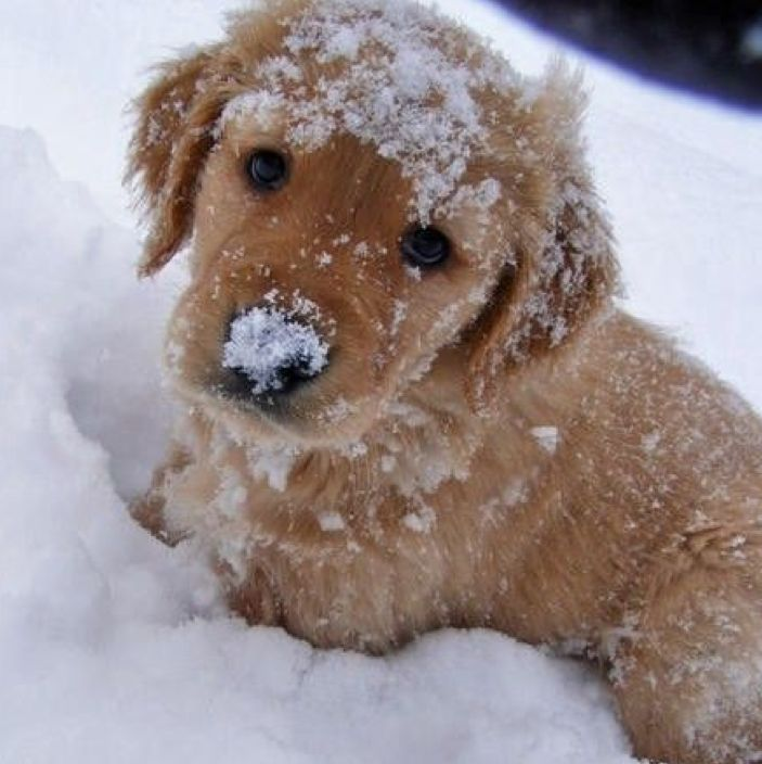 """Snow dog!  Love to play in the snow. When the snowstorm begins she will go out and the fun begins. She tries to catch the snowflakes, snowballs and I chases the shoveled places already cleared. The little """"imp"""". Cute, I love her."""