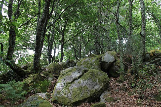 Castro de A Subidá (Mogor) - Bosque de carballos