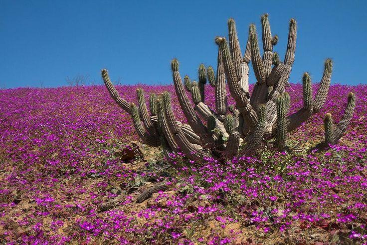 Flowering desert (Atacama Desert, Chile)