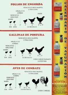 Resultado de imagen para plan de vacunacion gallos pelea