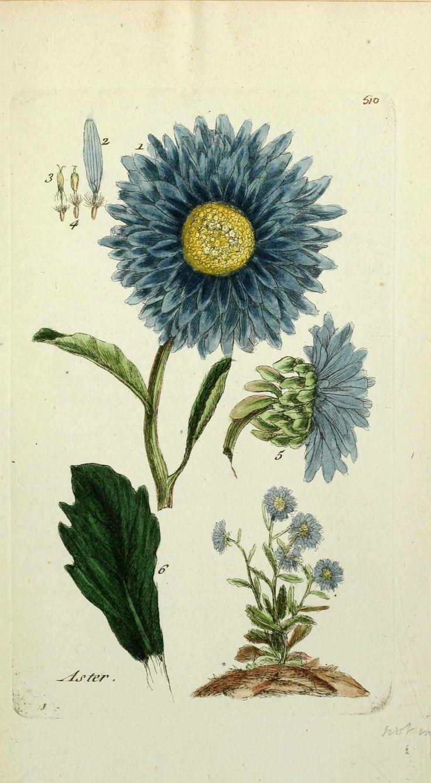 flore de paris : reine marguerite - aster chinensis ( aster, bel astre ).jpg