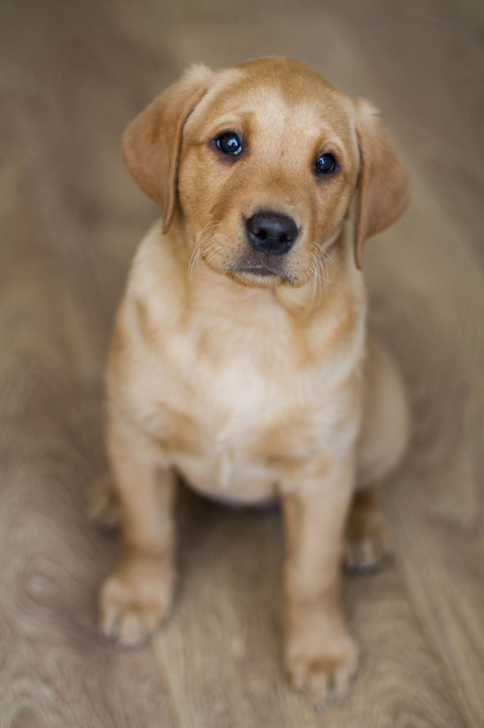 A cute, yellow Labrador Retriever puppy sitting obediently indoors on a wooden floor.