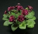 """""""Jolly Texan"""" miniature African Violet  $6.50 per plant.  2.50 per leaf.  Another winner."""