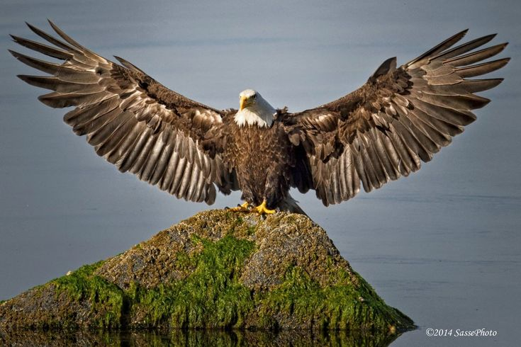 Spread your wings! Bald Eagle - Sasse Photo