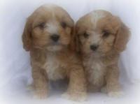 Riverside Puppies, Cavapoos, Yorkipoos, Maltipoos, Schnoodles, Hybrids