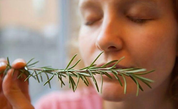 El olor del romero podría aumentar tu memoria. - Vida Lúcida