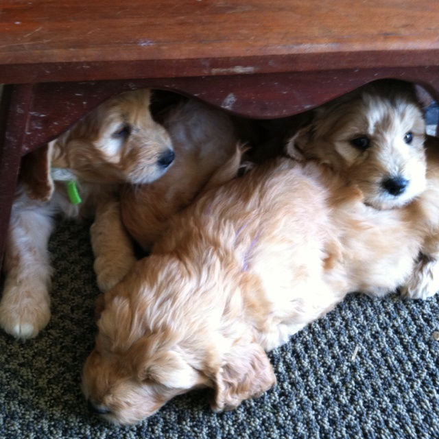 Mini golden doodle puppies